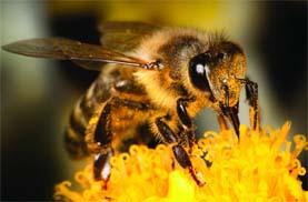 مميزات النحل