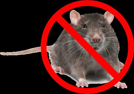 أفضل طريقة للقضاء على الفئران