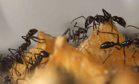مكافحة النمل الاسود الكبير