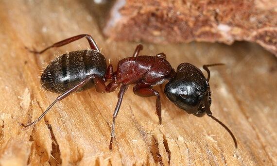 مكافحة النمل الصغير