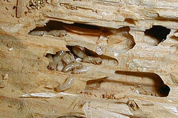مكافحة النمل الأبيض فى المنزل