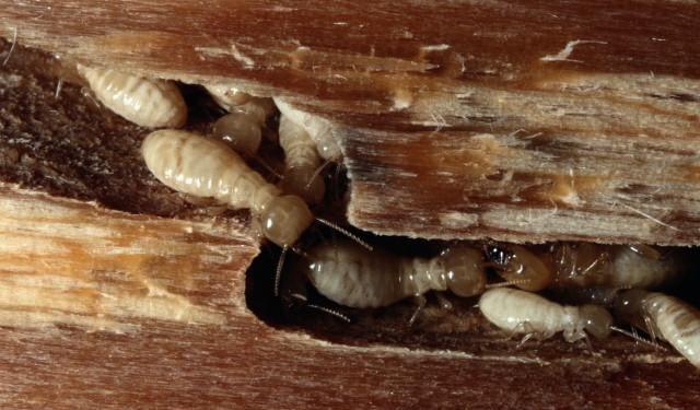 طرق مكافحة النمل الأبيض