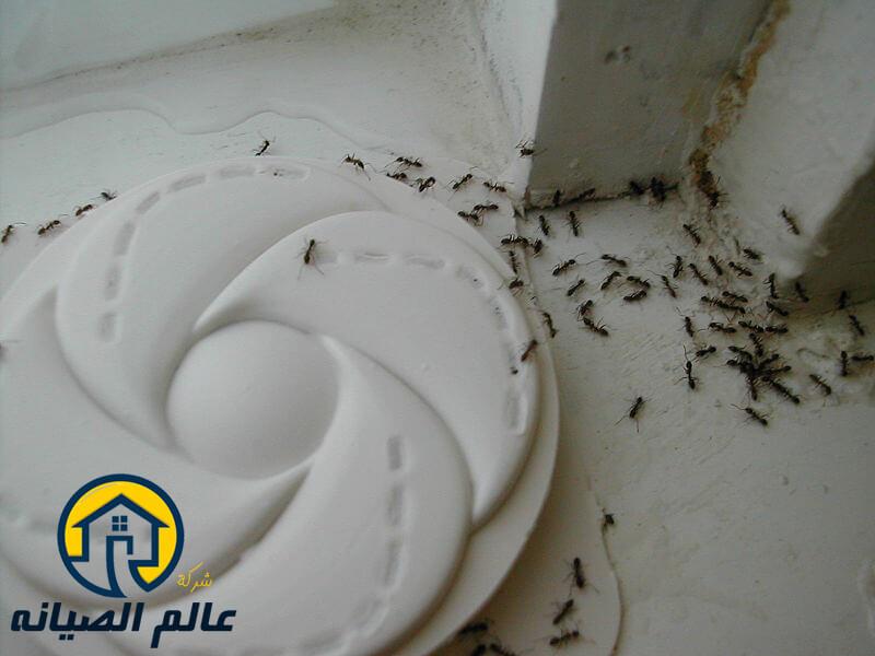 شركة مكافحة النمل الاسود بالرياض